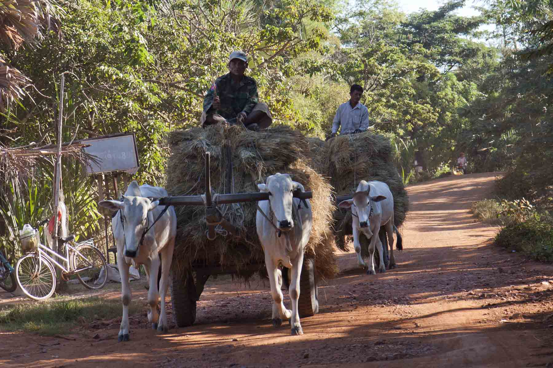 Ox carts, countryside around Siem Reap