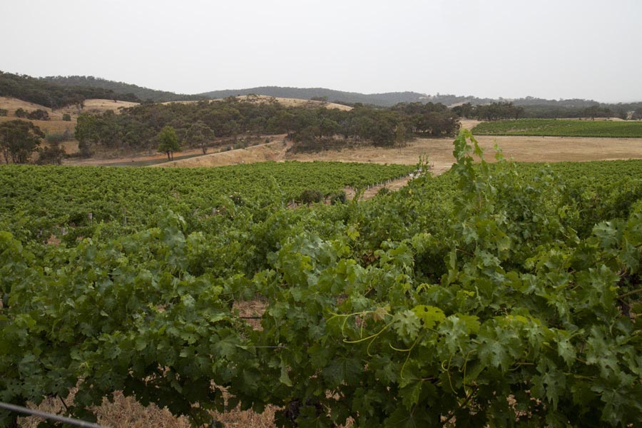 The vineyards of Warrenmang