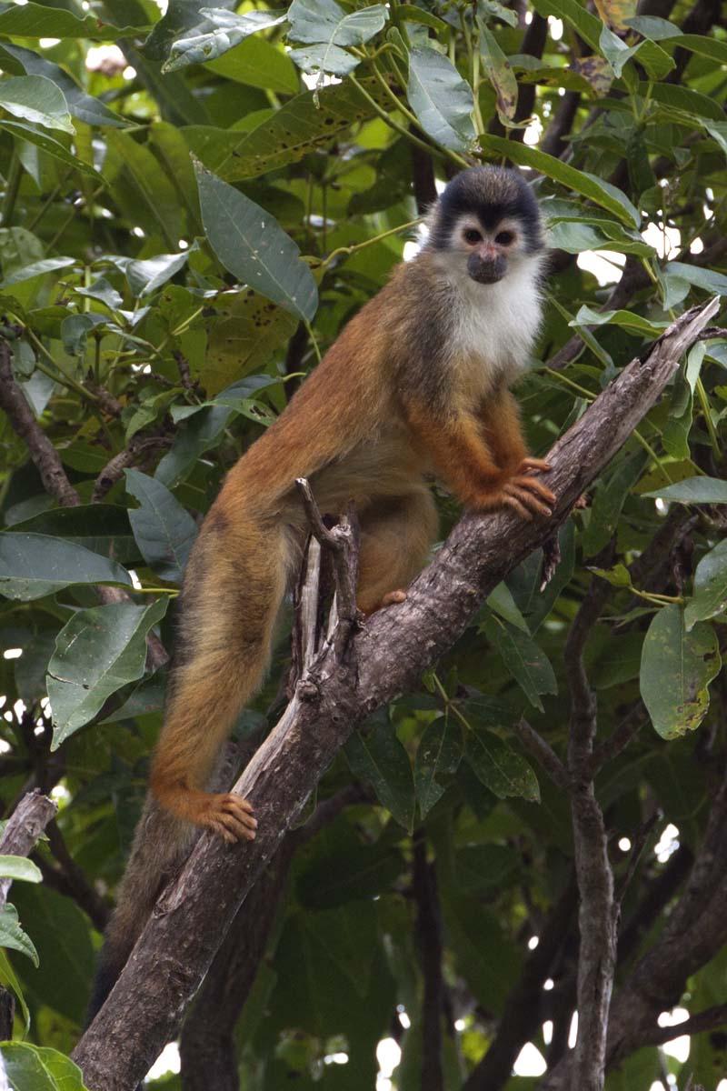 Capuchin monkey, Bosque del Cabo, Costa Rica